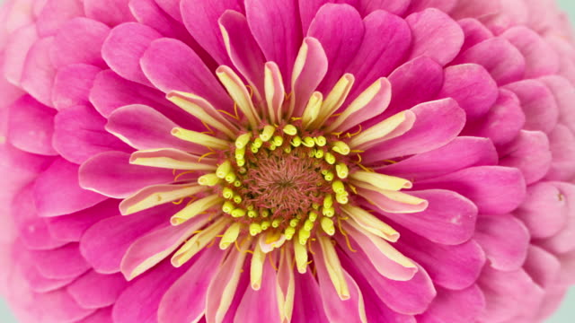 pink zinnia flower blooming - floral pattern stock videos & royalty-free footage