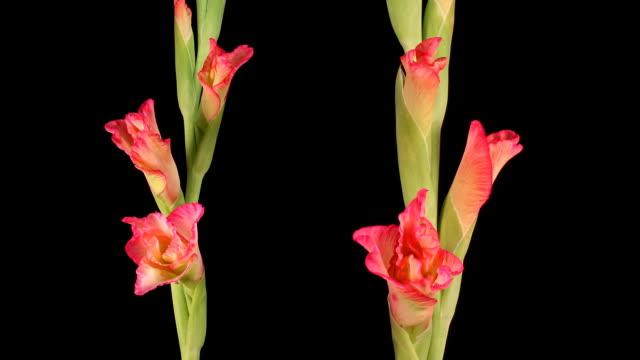 vídeos de stock e filmes b-roll de pink-edged glads, timelapse - gladiolus