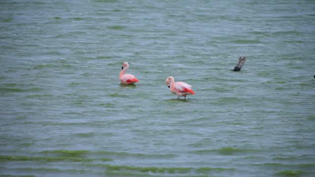 ms pan pinkish orange flamingoes wading on water with wind blowing / isla grande de tierra del fuego, chilean patagonia, chile - utfällda vingar bildbanksvideor och videomaterial från bakom kulisserna