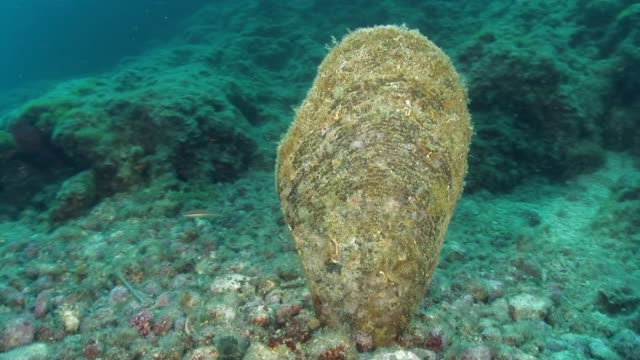 pinna nobilis a protected species of shell - animal shell stock videos & royalty-free footage
