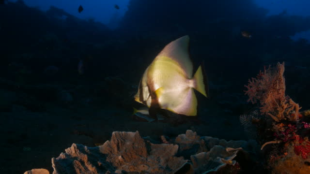 pinnate spadefish hiding in shipwreck, indonesia (4k) - reef stock videos and b-roll footage