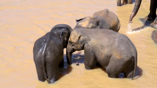Pinnawala Elephant Orphanage, elephants in the Maha Oya River near Kegalle, Sri Lanka, Asia
