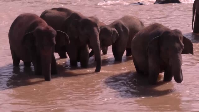 pinnawala elephant orphanage is an orphanage, nursery and captive breeding ground for wild asian elephants located at pinnawala village, northwest of... - wildlife conservation stock videos & royalty-free footage