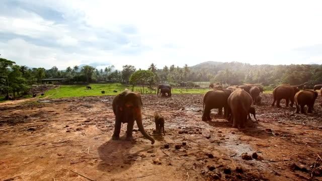 pinnawela elephant orphanage - 1975 stock videos and b-roll footage