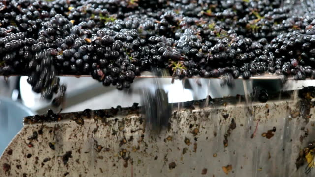 pinot noir grapes during harvest on conveyer belt - conditions stock videos and b-roll footage