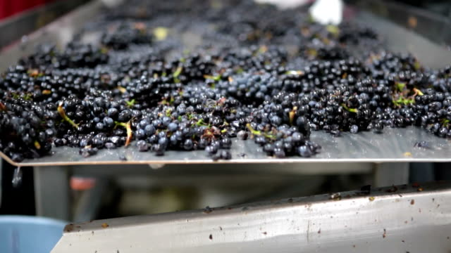 Pinot Noir Grapes during harvest on conveyer belt
