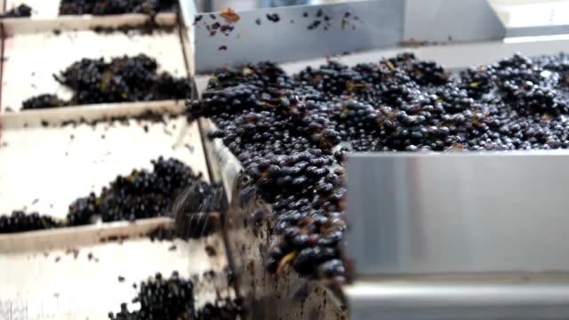 stockvideo's en b-roll-footage met pinot noir grapes on conveyer belt - oregon amerikaanse staat