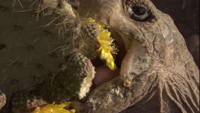 A Pinzon Island tortoise bites off a yellow cactus flower. Available in HD.