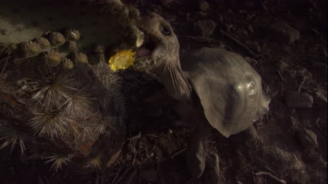 A Pinzon Island tortoise bites off and eats a yellow cactus flower. Available in HD.