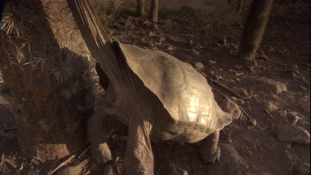 A Pinzon Island tortoise stretches its neck to eat a flower off a cactus plant. Available in HD.