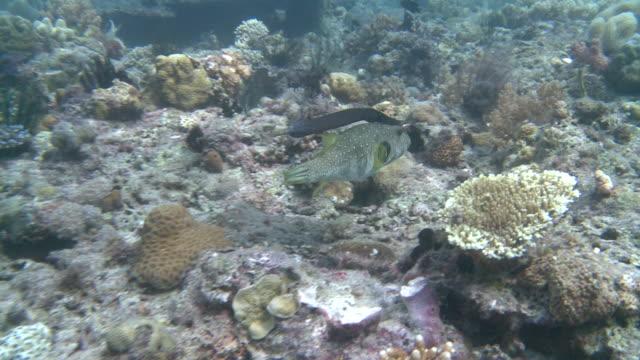 pipe fish and puffer fish swimming in tandem, southern visayas, philippines - ヨウジウオ科点の映像素材/bロール