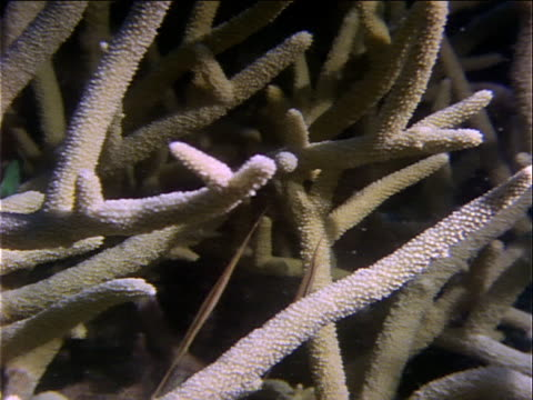 pipefish swim between coral branches. - televisione a ultra alta definizione video stock e b–roll