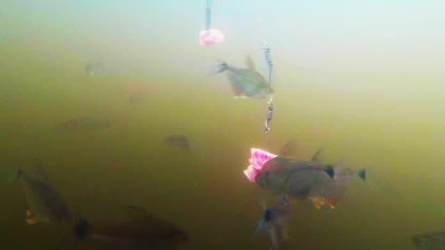 piranha are one of the most feared fish in the water, second only to sharks. despite their small size, they are more than capable of killing a large... - animal blood stock videos & royalty-free footage