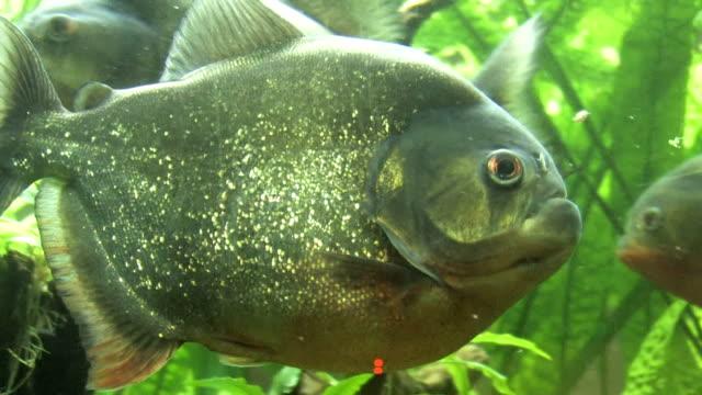 vídeos de stock, filmes e b-roll de piranha - - peixe