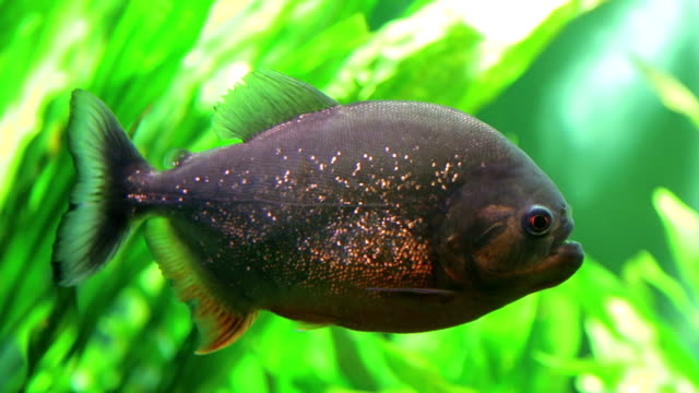 piranha pygocentrus nattereri - amazonas state brazil stock videos and b-roll footage