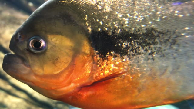 piranha - scaly stock videos & royalty-free footage