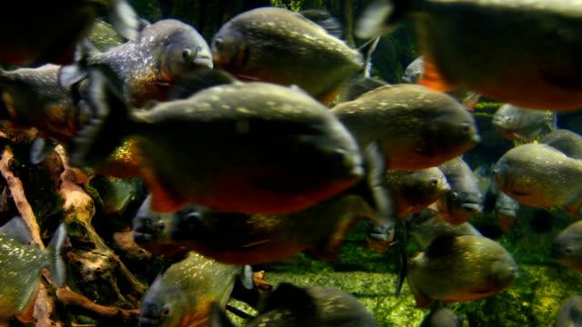 piranhas in aquarium - school of fish stock videos & royalty-free footage