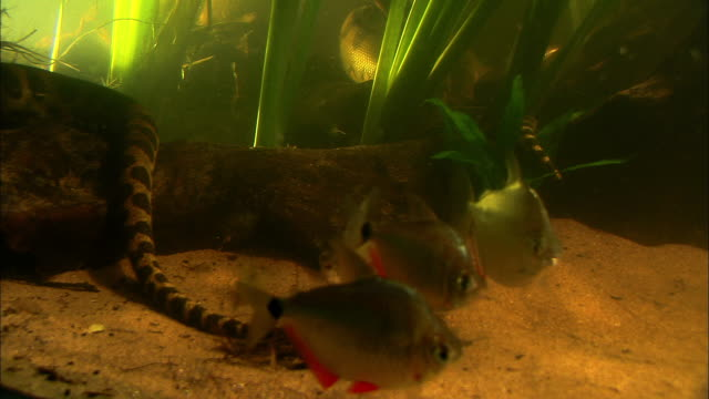 piranhas swim near an anaconda in an aquarium. - tropical fish stock videos & royalty-free footage
