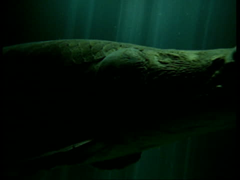 CU of Pirarucu, Arapaima gigas, as it swims past, South America. One of the largest freshwater fish in the world.