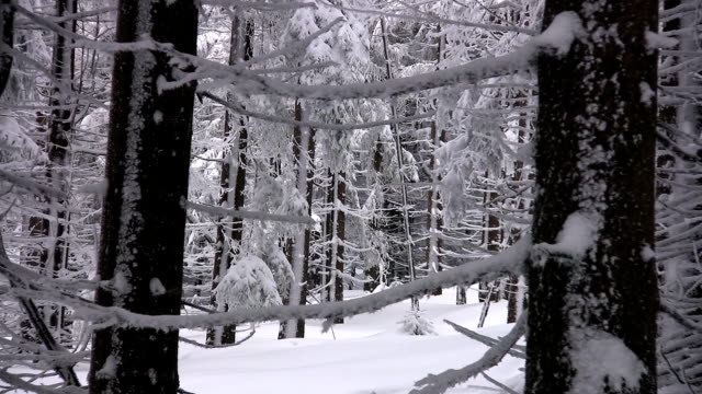 Pire trees covered with snow
