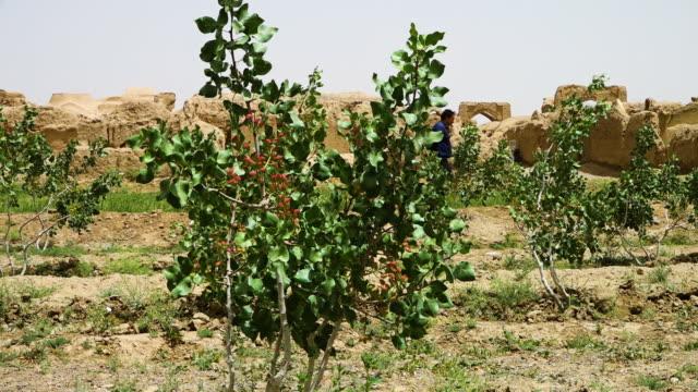 a pistachio farm - pistachio nut stock videos & royalty-free footage