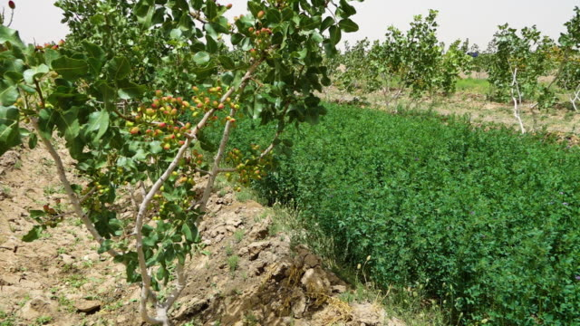 a pistachio farm - afghanistan stock videos & royalty-free footage