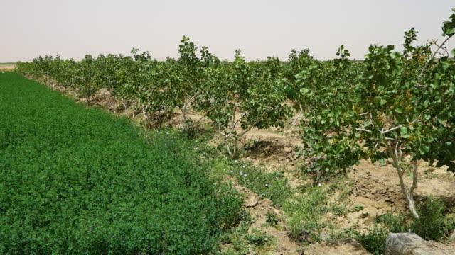 A pistachio farm