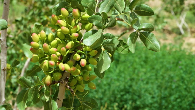 pistachio nuts on trees - afghanistan stock videos & royalty-free footage