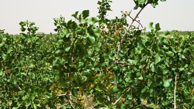 Pistachio nuts on trees