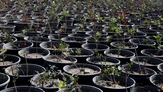 pistachio saplings in pots in the vinichio valley kakheti region of georgia on sunday september 22 2019 vinichio valley is a large scale agricultural... - pistazie stock-videos und b-roll-filmmaterial