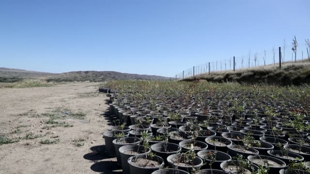 pistachio trees saplings in the vinichio valley kakheti region of georgia on sunday september 22 2019 vinichio valley is a large scale agricultural... - pistazie stock-videos und b-roll-filmmaterial
