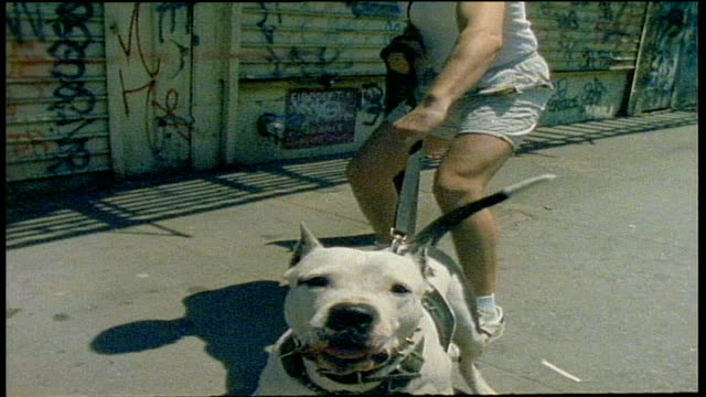pit bull dog barking at camera while man holds it back in nyc - aggression stock-videos und b-roll-filmmaterial