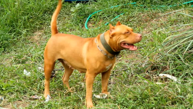 pit bull dog - pit bull terrier americano stock videos and b-roll footage