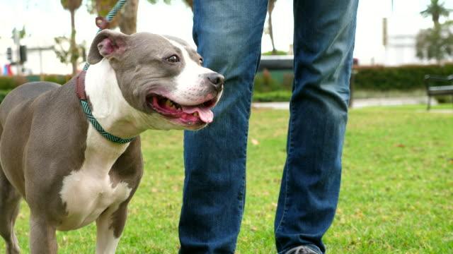 stockvideo's en b-roll-footage met ms pit bull in park with owner - alleen één mid volwassen man