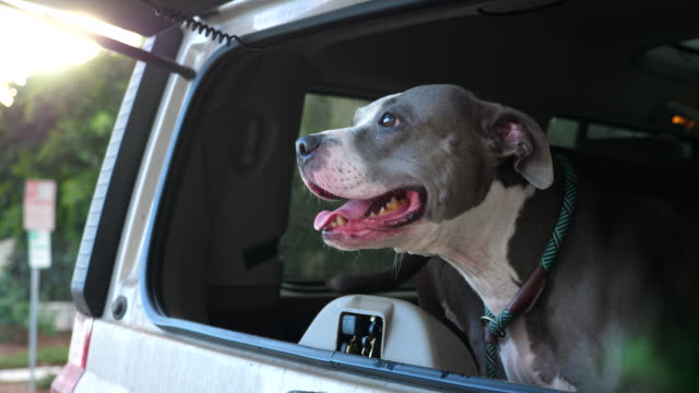 ms pit bull looking out open rear window of car - windscreen stock videos & royalty-free footage