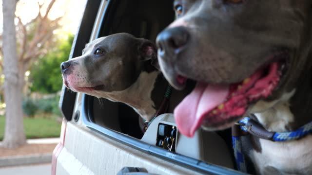 cu r/f pit bulls looking out open rear window of car - windscreen stock videos & royalty-free footage