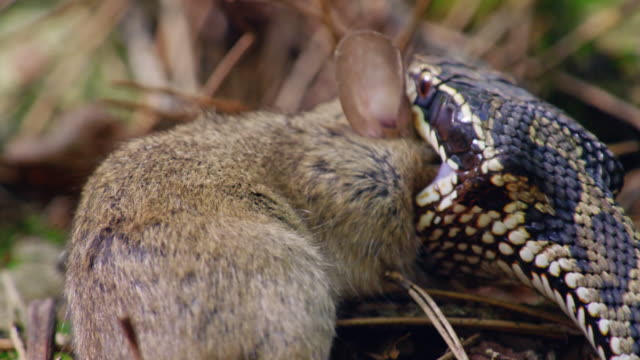 pit viper eating a field mouse alive in the dmz (demilitarized zone between south and north korea), goseong-gun - south korea stock videos & royalty-free footage