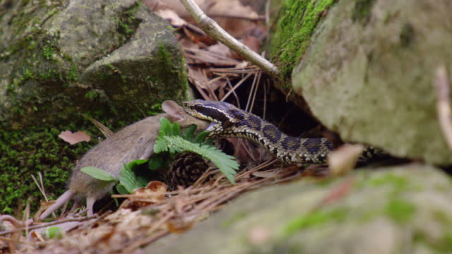 pit viper swallowing a field mouse in the dmz (demilitarized zone between south and north korea), goseong-gun - south korea stock videos & royalty-free footage