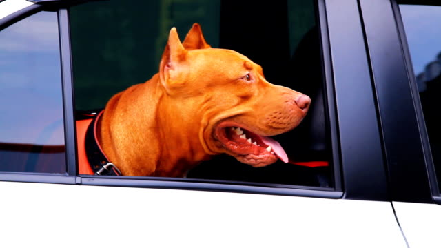 Pitbull Dog in car.