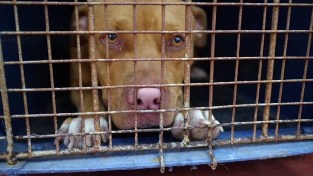 pitbull dog in the cage - fawn stock videos & royalty-free footage