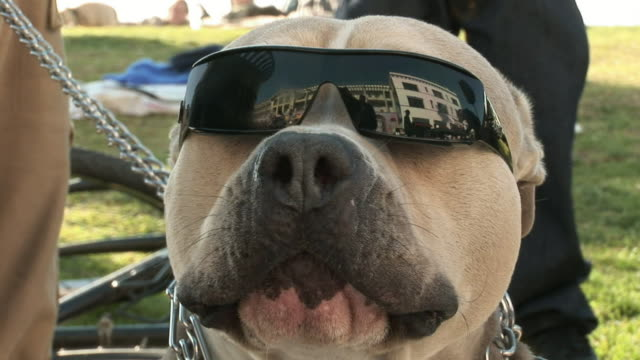 ZI, CU, Pitbull dog wearing sunglasses sitting by two man talking by sidewalk, Venice, Los Angeles, California, USA