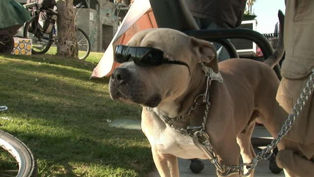 MS, Pitbull dog wearing sunglasses standing by man on sidewalk, Venice, Los Angeles, California, USA