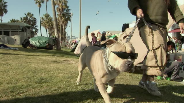 POV, CU, Pitbull dog wearing sunglasses walking with man along street stalls, Venice, Los Angeles, California, USA