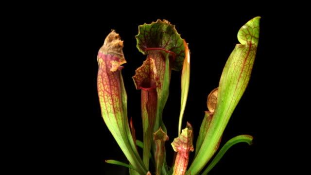 vídeos y material grabado en eventos de stock de planta pitcher crecimiento - carnivorous plant