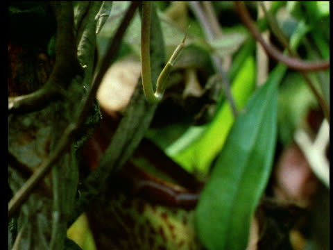 pitcher plant grows and pitcher trap opens. - insectivore stock videos & royalty-free footage