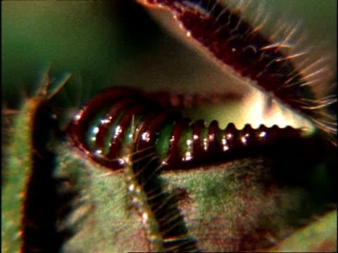 vídeos y material grabado en eventos de stock de pitcher plant rotation, uk - planta pitcher