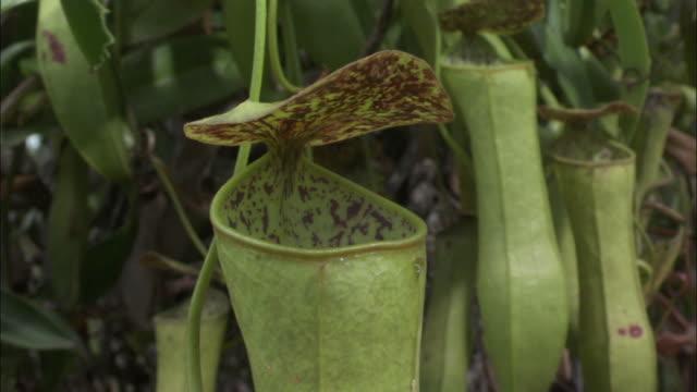 vídeos de stock, filmes e b-roll de pitcher plant urn, borneo - carnivorous plant