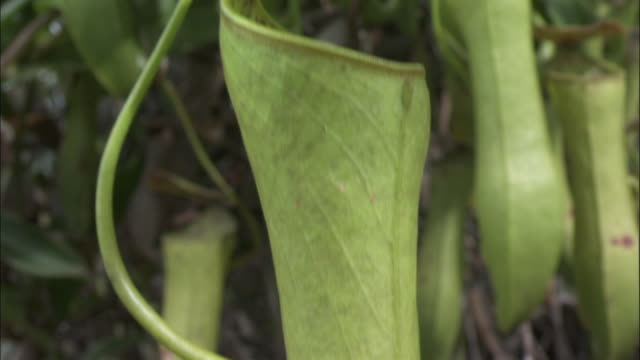 pitcher plant urn, borneo - carnivorous plant stock videos and b-roll footage