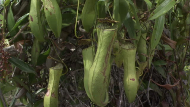 pitcher plant urns, borneo - carnivorous plant stock videos and b-roll footage