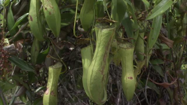 vídeos de stock, filmes e b-roll de pitcher plant urns, borneo - carnivorous plant